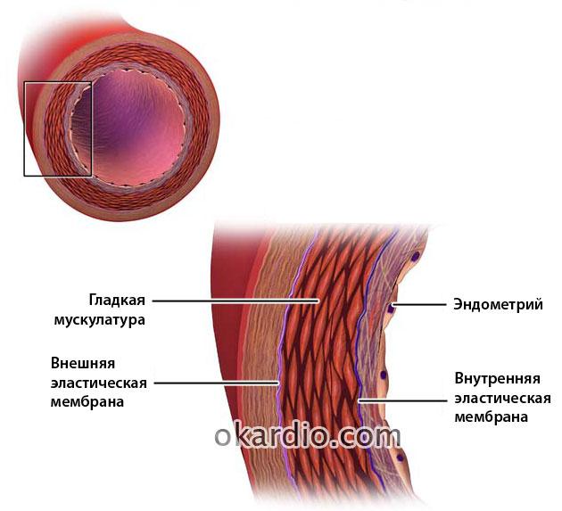 строение артериальной стенки