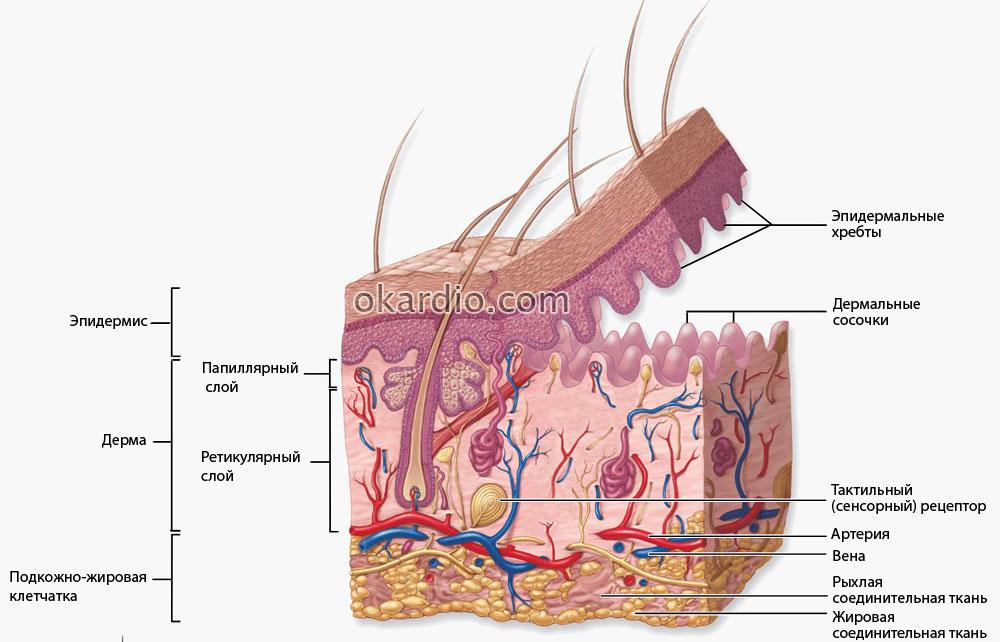 Выступают вены на руках: причины, опасно ли это, симптомы и лечение