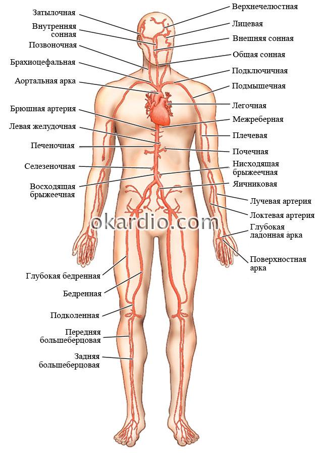 расположение артерий в организме