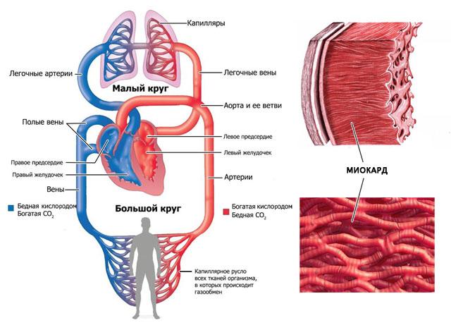 схема малого и большого кругов кровообращения и мышечный слой миокарда
