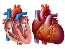 сердце в норме и при гипертрофии правого предсердия