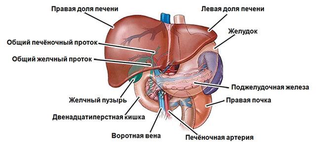 анатомическое строение эпигастральной области брюшной полости