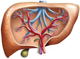 кровеносные сосуды печени